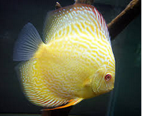Profil Ikan Hias Diskus ikan hias cantik