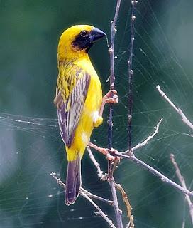 burung manyar, gambar burung manyar