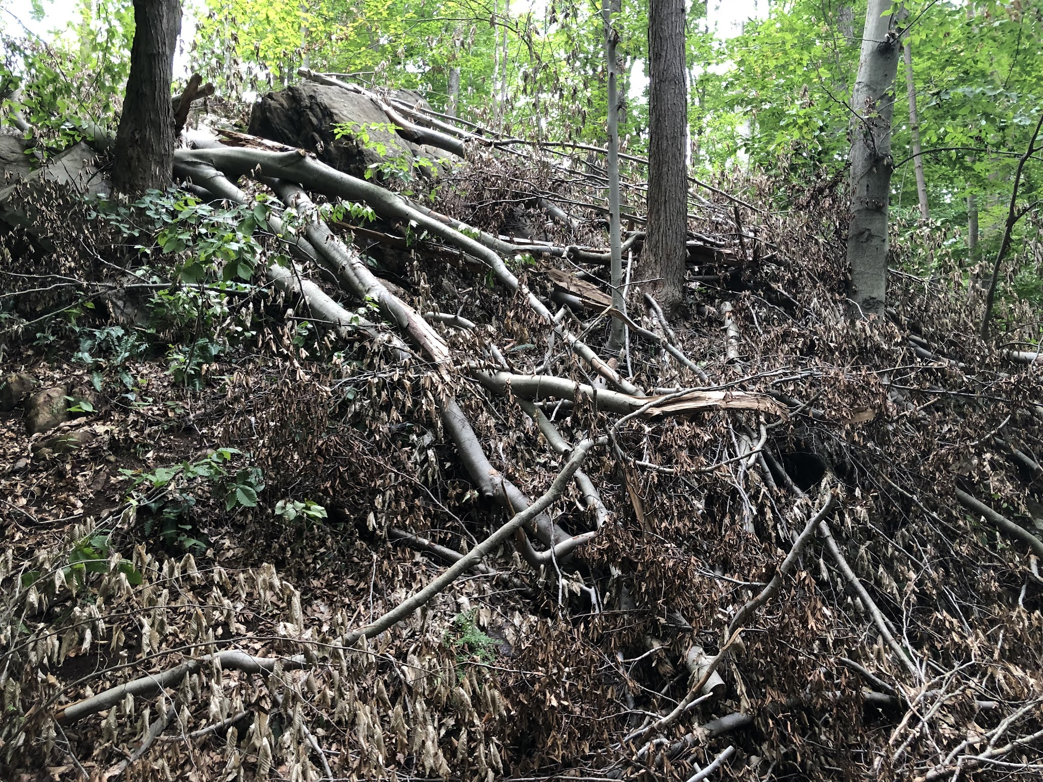 tree crowns discarded on RRP forest floor increasing fire load and hazard
