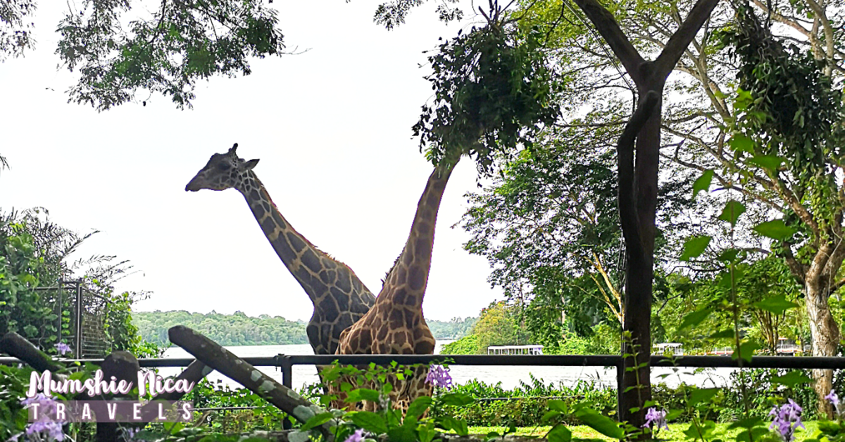 Close up look of the Giraffe in Singapore Zoo