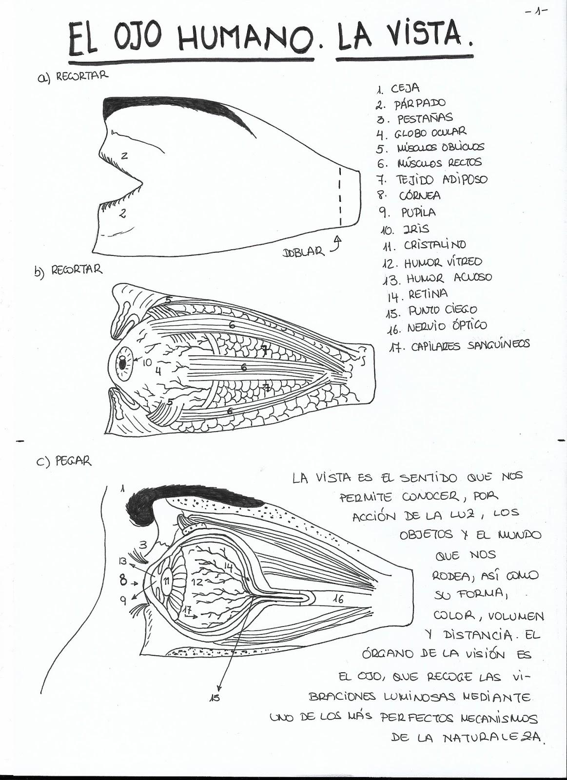 Plasticlass: Anatomía del ojo humano. La vista.