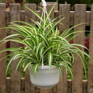tanaman hias lili paris