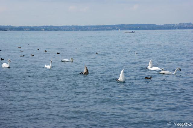 Cigni e papere nel Lago di Garda