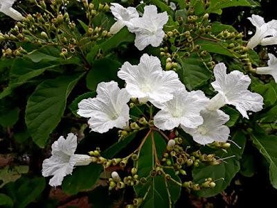 flores_da_babosa_branca