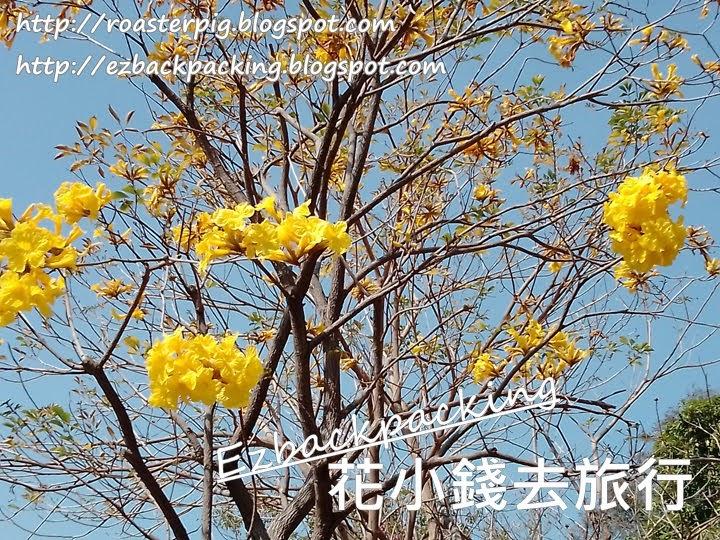 黃花風鈴木2021