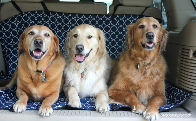 Three golden retrievers sitting on molly mutt cargo liner