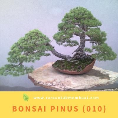 Bonsai Pinus (010)