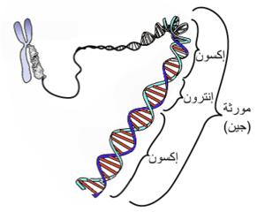 يوضح الشكل العلاقة بين جين وأحد الكروموسومات