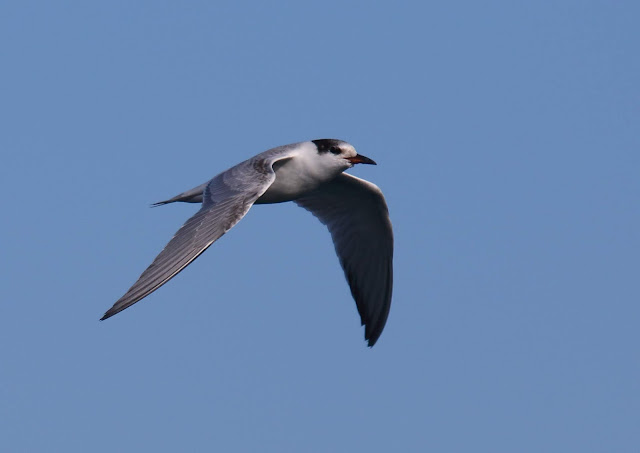 Common Tern at Imperial Beach, California