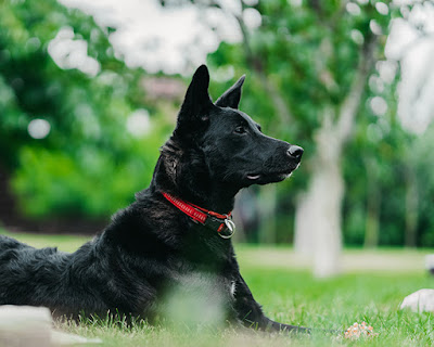 A black dog with a red collar is lying on grass