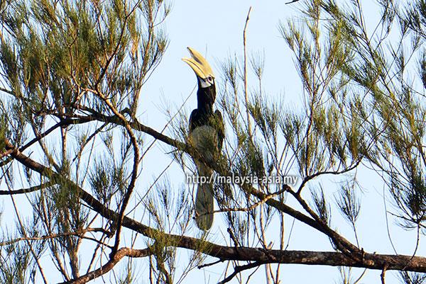 Bird Watching Piasau Nature Reserve Hornbill