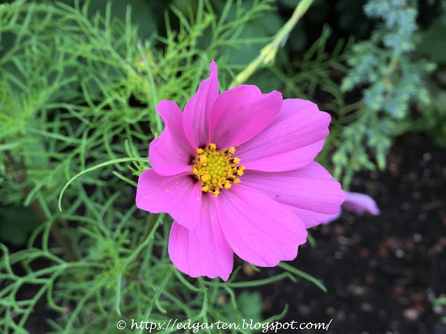 Sommerblume lila