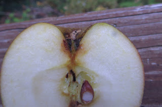 Portion of the cut side of an apple, showing the calyx