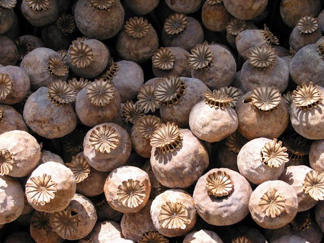 Quả Cây Thuốc Phiện phơi khô - Papaver somniferum - Nguyên liệu làm thuốc Chữa Ho Hen