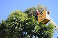 Poda de árvore e retirada de ervas daninhas na Reta