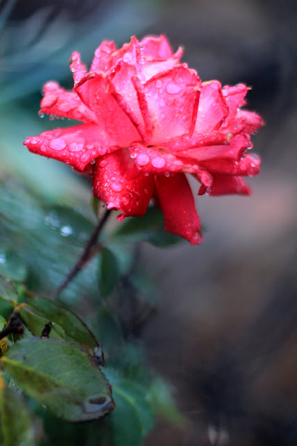 Red Rose in the Rain - Flower Photography by Mademoiselle Mermaid