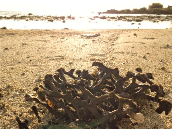 Những nhánh san hô trôi dạt vào dọc bờ biển Điệp Sơn.