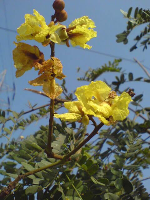 Gulmohar Tree Information - Use ! गुलमोहर औषधीय गुण