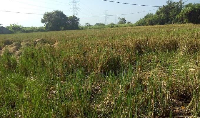 Soal Hasil Panen Padi Kurang Baik, Ini Penjelasan Korluh Kecamatan Carenang