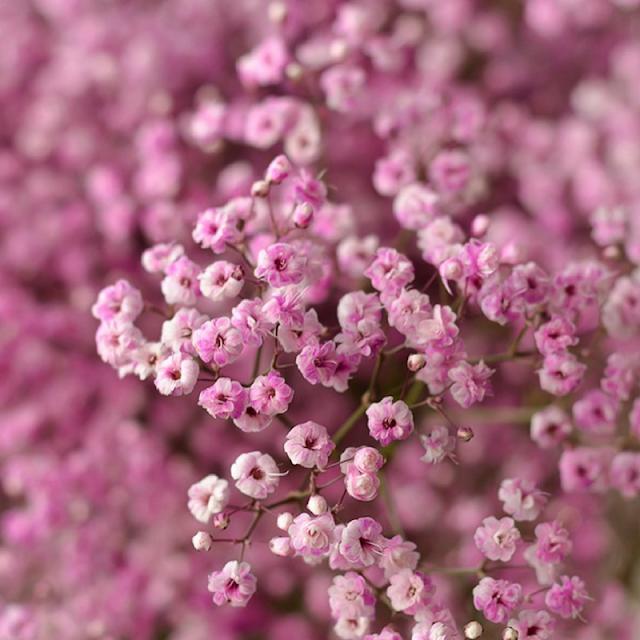 hoa baby màu tím