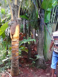 Jual Pohon Kelapa Gading Murah Dan Super