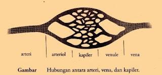 Macam-Macam Pembuluh Darah dan Fungsi Pembuluh Darah