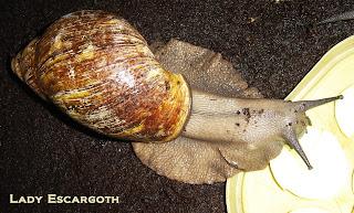 archachatina marginata ovum