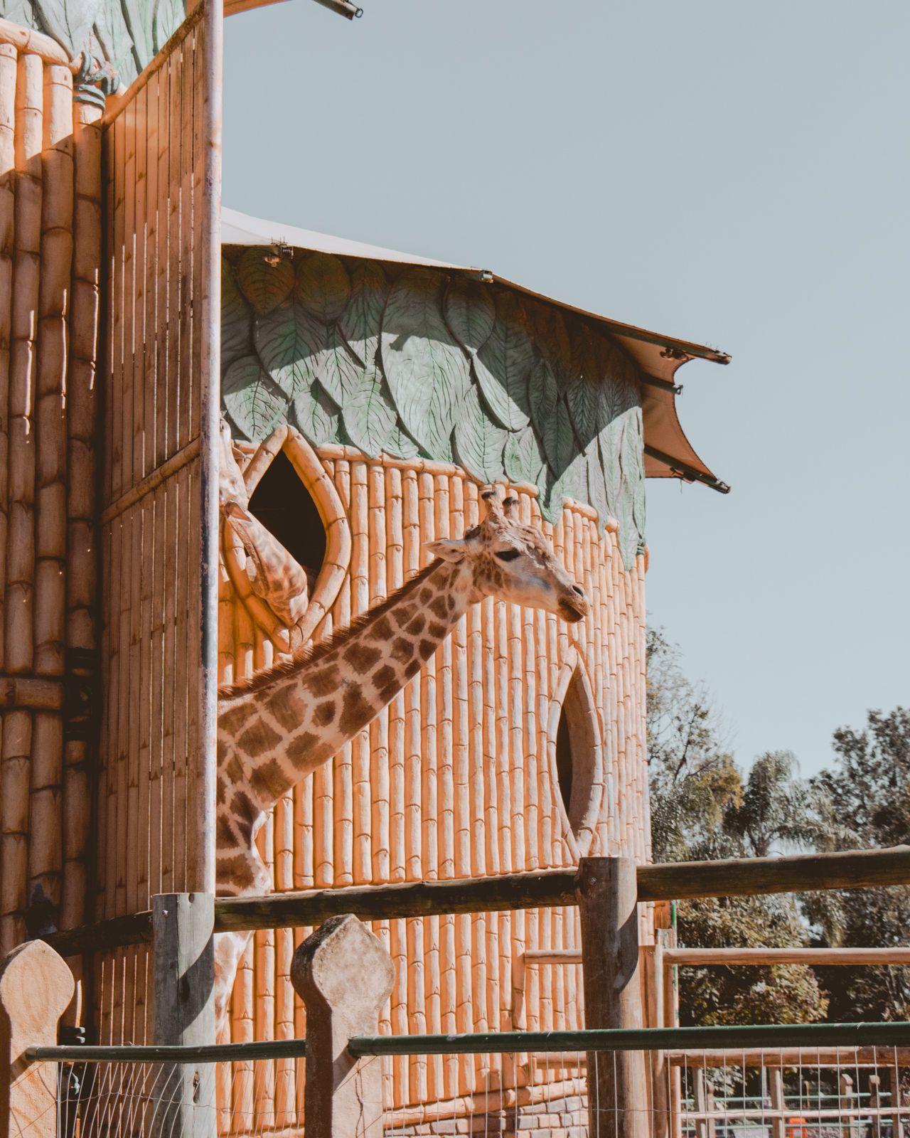 giraffa parque beto carrero