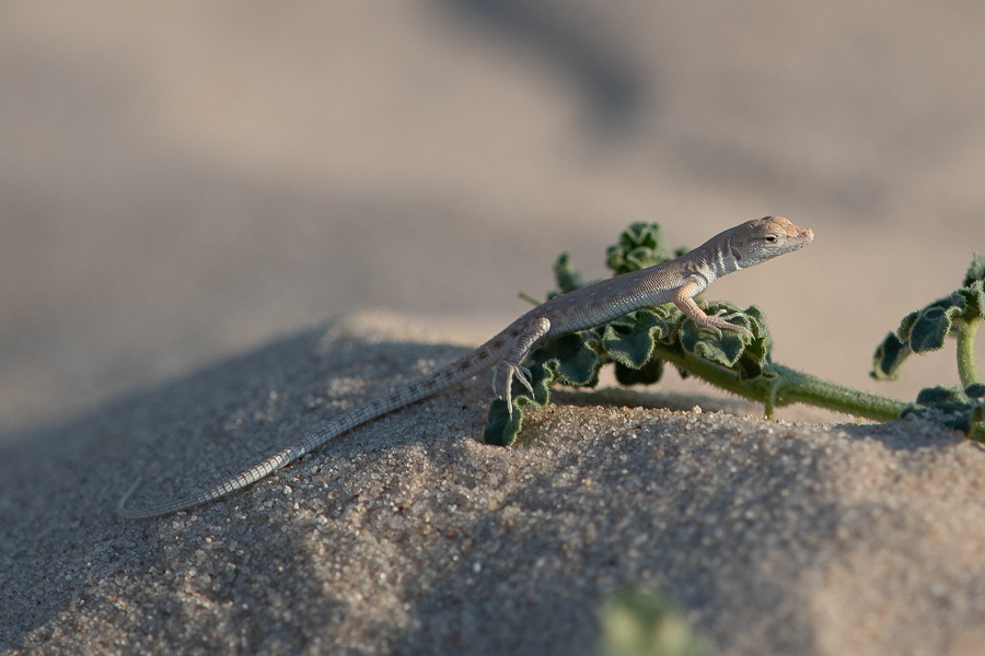 Blanford's short-nosed desert lizard