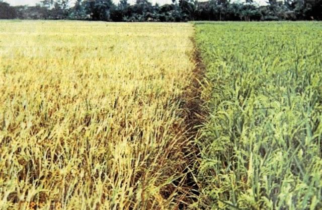 Cara Dan Tips Untuk Meningkatkan Kualitas Produksi Padi Organik