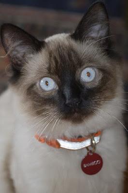 قطط البالينيزي : Balinese