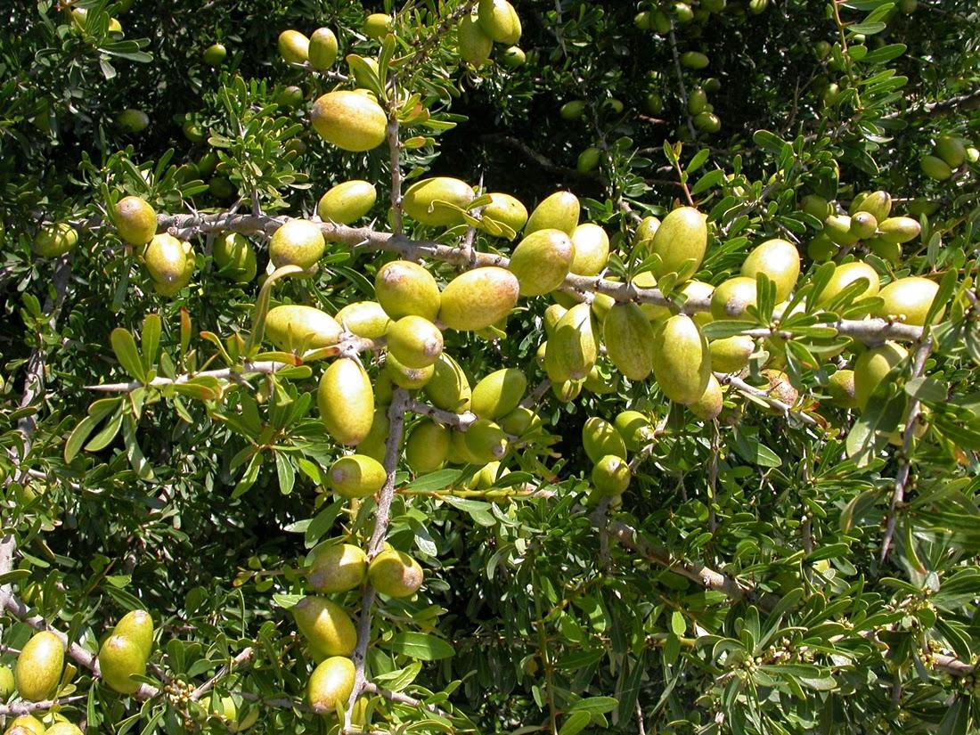 ثمار شجرة الأركان التي يستخرج منها زيت الأركان