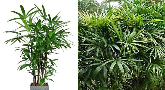 Plantas para purificar o ar - Palmeira Dama - Raphis excels