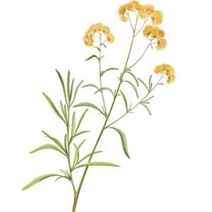 Macela-do-campo, nome científico: Achyrocline satureoides