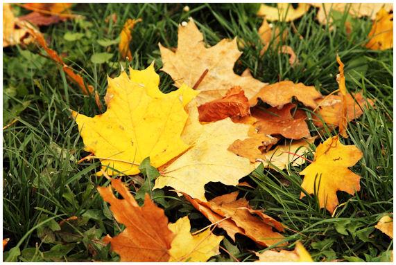 Värikkäitä syksyn lehtiä maahan pudonneena.