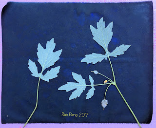 Wet cyanotype, Sue Reno, Image 42