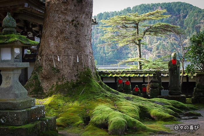 racines de l'arbre sacré du daijoji recouvertes de mousse