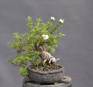 Cinquefoil, Potentilla, shohin, blossoms, dead wood