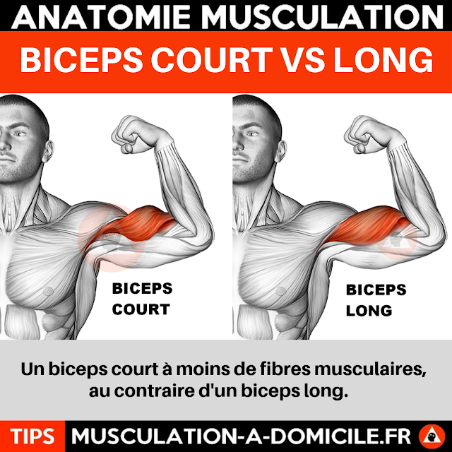 musculation à domicile anatomie des muscles biceps court vs biceps long