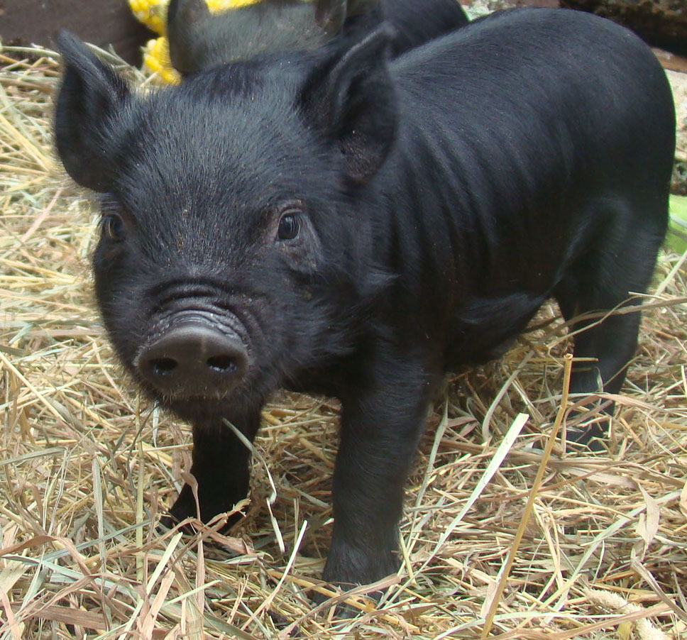 Cute Black Pig | www.imgkid.com - The Image Kid Has It!