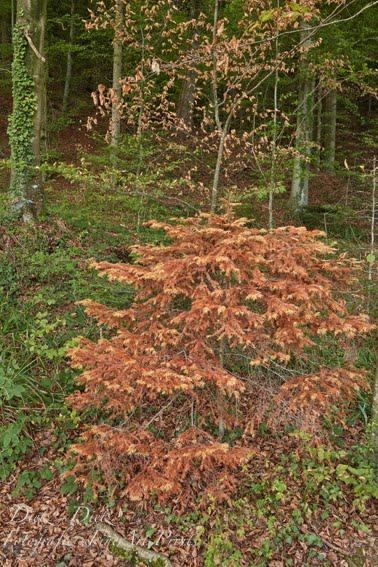 September 2018  Weisstanne 20m neben dem Zugersee. Ohne Wasser hat auch die kleine Tanne keine Chance. Wenn es den Wurzeln schlecht geht, geht es dem ganzen Baum schlecht.
