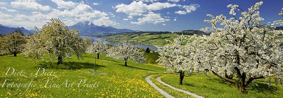 www.dietz.ch - Blühende Kirschbäume mit Pilatus - Hinter-Langegg ob Küssnacht