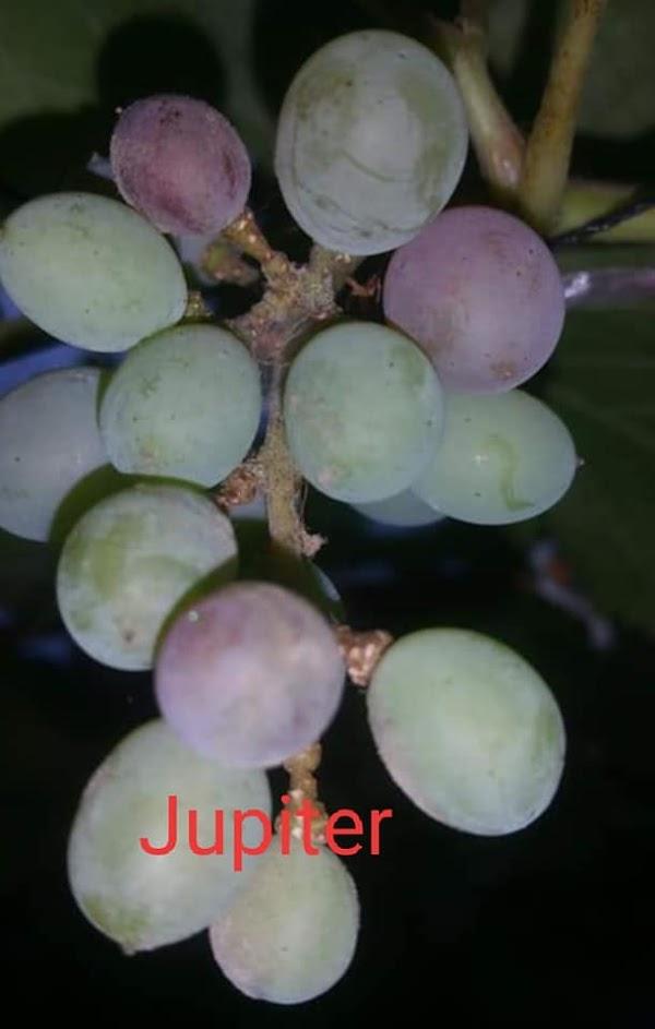 Mengenal Varietas Anggur Jupiter Tanpa Biji