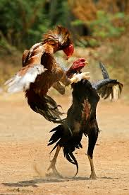 Ayam Bangkok Aduan Super 2