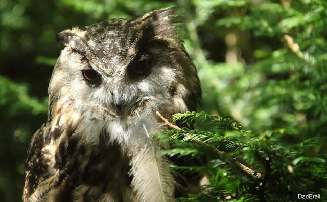 Hibou Grand Duc, Parc des Oiseaux de Villars-les-Dombes