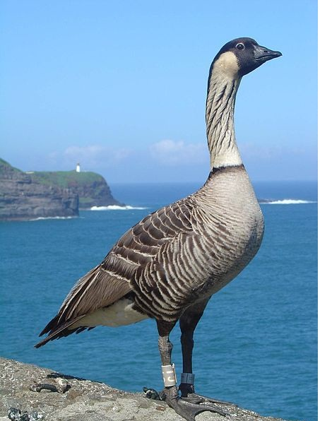 Nene goose is endangered species