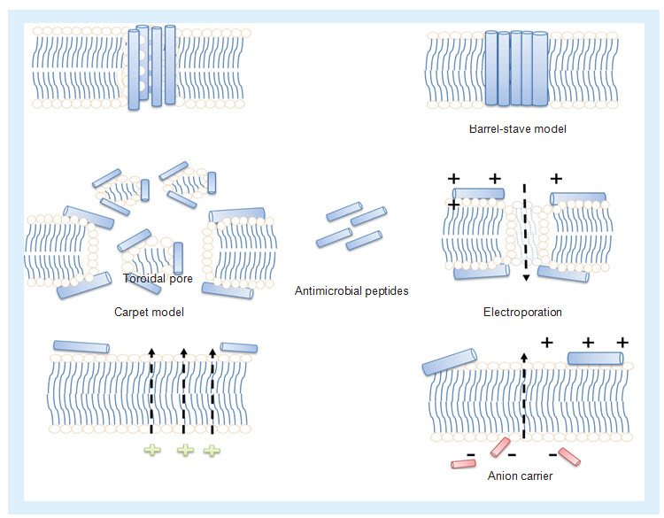 Different mechanism of actions of antimicrobial peptides