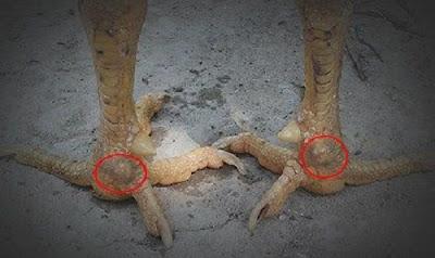 kelebihan kaki ayam suro watu