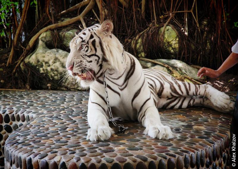Белый тигр в Паттайе