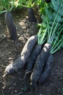 Radis noir : propriétés et vertus du légume